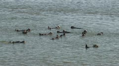 P02531 Large Group of Sea Otters in California Stock Footage