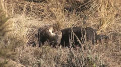 P02532 Sea Otter Resting on Shore Stock Footage