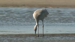 P02542 Sandhill Crane Feeding in Mudflat Stock Footage