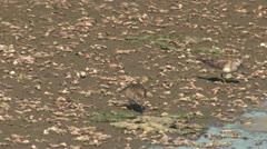 P02544 Sandpiper Shorebirds Feeding in California Stock Footage
