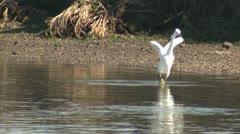 P02545 Snowy Egret Feeding in California Estuary Stock Footage