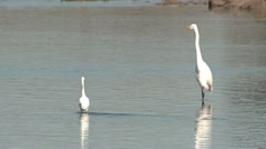 P02546 Great Egret and Snowy Egret Stock Footage