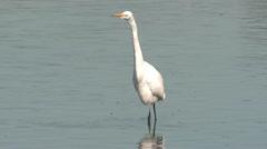 P02547 Great Egret Walking in Water Stock Footage
