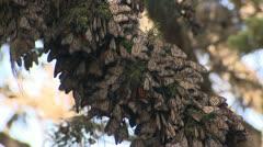 P02548 Monarch Butterflies in Winter Habitat on Tree Stock Footage