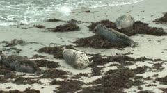 P02559 Harbor Seals Resting on Beach in California Stock Footage