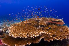 School of orange anthias swimming over a reef Stock Photos