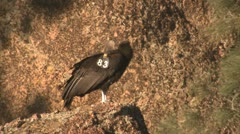 P02572 California Condor with Wingtag Stock Footage