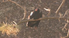 P02574 Wild Adult California Condor with Wing Tag Stock Footage