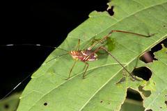 Brightly coloured juvenile katydid in rainforest, ecuador Stock Photos
