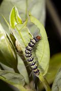 lepidopteran caterpillar eating a leaf in the rainforest, ecuador - stock photo