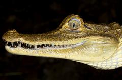 spectacled caiman (caiman crocodilius) in ecuador, close-up of head. - stock photo