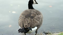 Geese in Wintertime Slowmotion 2 Stock Footage