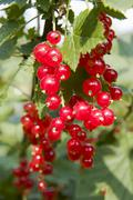 currant - stock photo