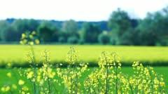 Close up of Oilseed Rape Flowers - stock footage