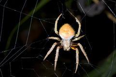 Tropical orb-web spider Stock Photos