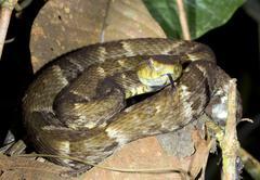 fer de lance (bothrops atrox)  a venomous viper coiled in the rainforest unde - stock photo