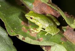 Green rain frog (pristimantis pseudoacuminatus) in the rainforest understory, Stock Photos