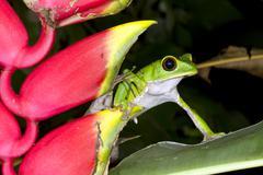 Tarsier monkey frog (phyllomedusa tarsius) beside a heliconia rostrata flower Stock Photos