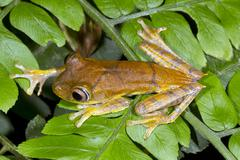 Map treefrog (hypsiboas geographicus) on a leaf in the rainforest, ecuador Stock Photos