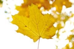 Fall trees and yellow leaves background Stock Photos