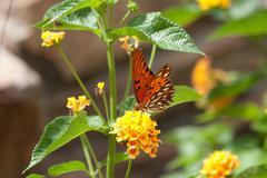 Monarch butterfly sitting on lantana Stock Photos