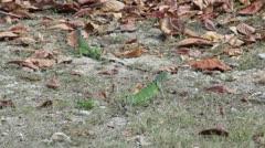 HD Stock Footage 1080p - Iguana family on Caribbean Island - stock footage