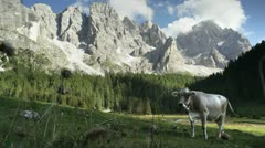 Cow in alpine valley Stock Footage
