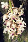 Orchid (xylobium ornatum), an epiphytic species from the ecuadorian amazon Stock Photos