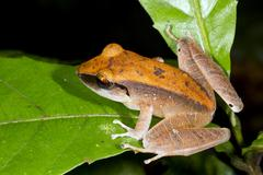 Peruvian rain frog (pristimantis peruvianus) sitting on a leaf in the rainfor Stock Photos