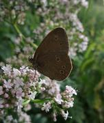 satyrini butterfly in floral ambiance - stock photo
