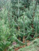 vegetation in the virunga mountains - stock photo