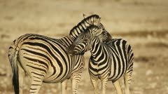 Plains Zebras grooming - stock footage