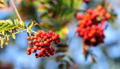 rowan tree - stock photo