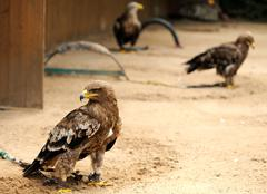 eagles in zoo - stock photo