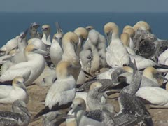 Gannets with moulting offspring grooming, preening in colony Stock Footage