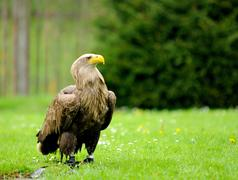 golden eagle in zoo - stock photo