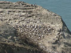 Gannet colony - birds eye view + zoom out Cape Kidnappers Stock Footage
