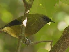 New Zealand Bellbird, Anthornis melanura Stock Footage
