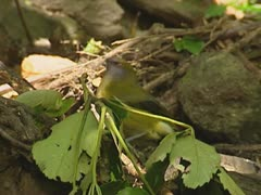 New Zealand Bellbird, Anthornis melanura, drinks from puddle Stock Footage
