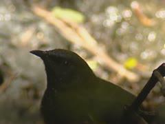 New Zealand Bellbird, Anthornis melanura, bathing in puddle Stock Footage