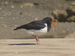 Pied oystercatcher on beach. Stock Footage