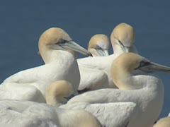 Gannets resting in colony, ocean in background. Stock Footage