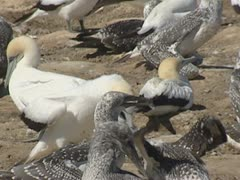 Gannet feeds offspring in colony. Stock Footage