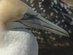Gannet sleeps in colony - close up Stock Footage