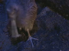 Brown Kiwi foraging in night - eating insect. - stock footage