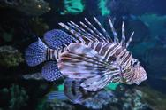 Lion fish in the water Stock Photos