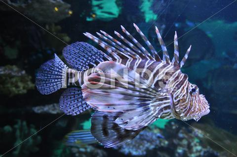 Stock photo of lion fish in the water