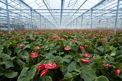 Anthurium nursery Stock Photos