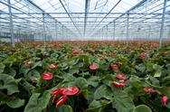 Stock Photo of anthurium nursery