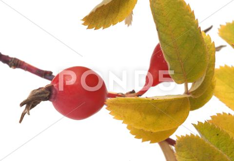 Stock photo of dogrose berry.